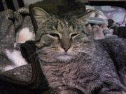 Найден серый,  полосатый кот
