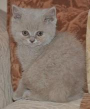 котята  британские лилового окраса