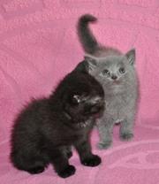 Британские котята девочки