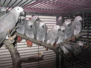 Продается птенец попугая Жако
