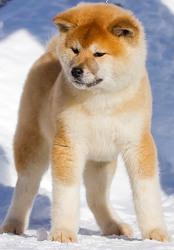 Акита ину (Хатико) щенки