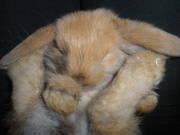 Карликовый кролик порода Вислоухий баран